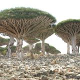 Dragon s blood tree - Madagascar